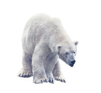 Polar bear isolated on white. Digital painting.