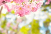 Pink sakura flowers on a spring tree