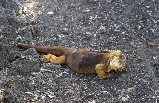 Galapagos Land Iguana (Conolophus subcristatus), Santa Cruz Island, Galapagos Island, Ecuador