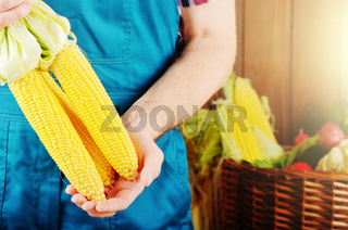 Farmer hold fresh organic corn cobs in his hands. Vegetable harvest concept