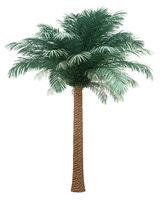 silver date palm tree isolated on white background