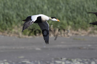 The male of the Common eider flying over the mouth of the river flowing into the ocean on a summer evening