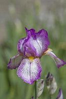 Schöne purpurrote Iris