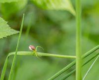 green crab spider