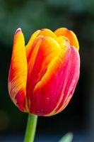 Beautiful tulip close-up, spring flowers tulips blossom in the garden, orange - yellow tulip