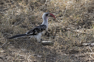 Red-billed Hornbill sitting on the ground in a glade in an African bush in a dry season