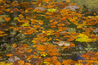Autumn leaves drift in the water