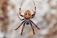 orb-weaver spider spider, Madagascar wildlife