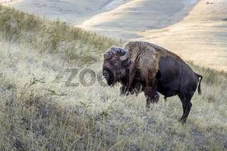 Large bison with tongue sticking out.