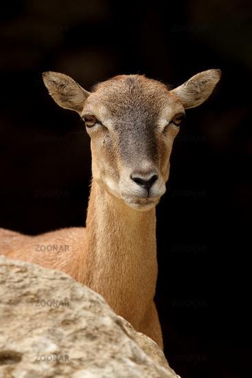 Mouflon  (Ovis ammon musimon)