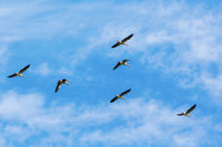 Flock of greylag geese flying in the sky