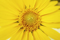 a typical yellow sunflower detail