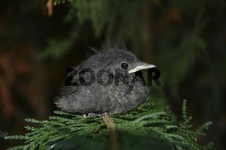 Ein Jungvogel - Hausrotschwanz sitzt auf Ast in der Natur