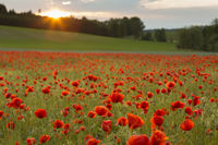 Flowering poppy field on agricultural land with evening atmosphere