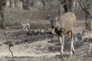 female sambar which goes under the branches of a tree on a forest edge on a winter day