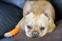 French Bulldog with a bandage healing from a paw injury.