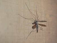 Crane Fly insect
