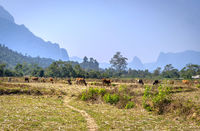 Herd of cows, Vang Vieng, Laos