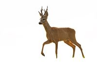 Roe deer buck walking in summer at sunset isolated on white background