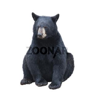 Young black bear sitting