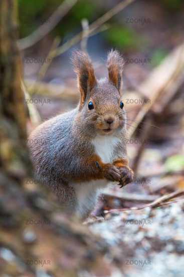 Red Squirrel on the ground in the forest