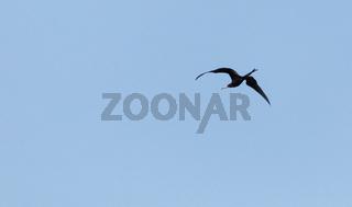 Flying magnificent frigatebird Fregata magnificens high above the shoreline