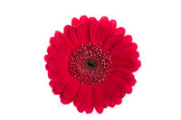 Perfect red gerbera flower head isolated on white background.