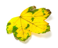 Yellowed dry leaf on white