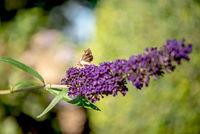 Agate owl moth