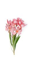 oleander on white background
