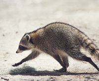 Raccoon walking in Florida park