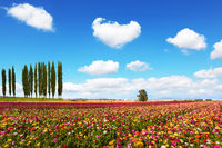 Field of garden buttercups
