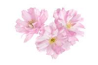 Pink sakura flowers isolated on white