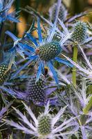 Eryngium zabelii  big blue