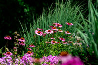 scenic view of a colourful pink and purple summer flower bed with phlox and coneflowers