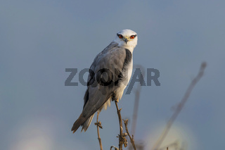 Black winged kite, Elanus caeruleus, Uran, Maharashtra, India.