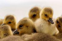 Canada goose chicks resting