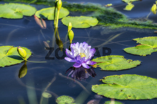 lotus flower in semiwon garden