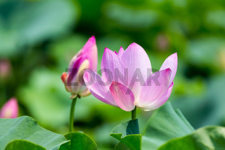 lotus blooms in summer