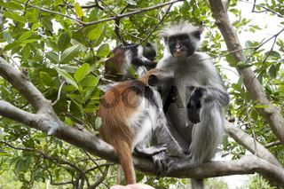 female Red colobus that sits on a branch of a tree feeds the cub