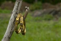Artificial golden bangles on a nature background.