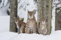 Eurasian Lynx Family, Lynx lynx, Luchs Familie