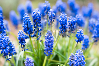 dreamy close up view of blue grape hyacinth or muscari flowers