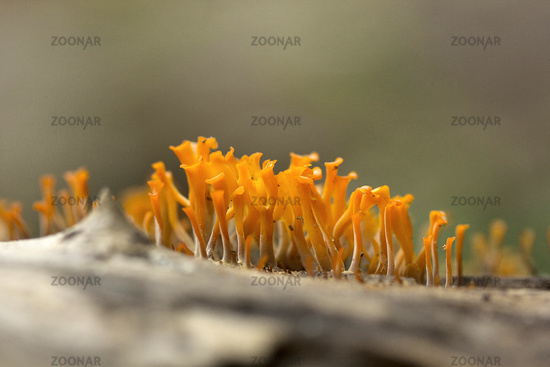 Coral fungi, Gurjee, Tripura , India