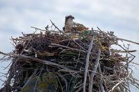 Osprey sitting on its nest