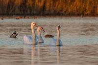 mute swan - cygnus olor