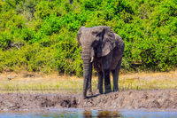 African elephant - single on a watering