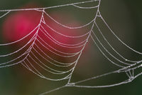 Drops of dew on a web in summer