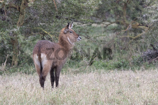 KOB standing in a clearing at the edge of a forest in the rain in the African savannah