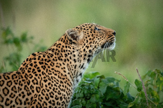 Close-up of leopard by bush looking up